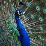 Peacock showing beautiful plumage
